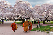 """Orange robed monks admire cherry trees flowering in early April in Seattle, Washington, USA. The Yoshino cherry trees on """"the Quad"""" (Liberal Arts Quadrangle) of the University of Washington were a senior gift from the class of 1959. The trees were rescued from a construction site for the Evergreen Point Floating Bridge and moved to campus in 1964."""