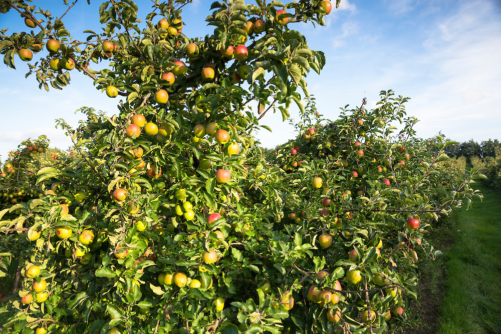 English eating apples growing in one of the many fruit orchards in Kent, England, UK