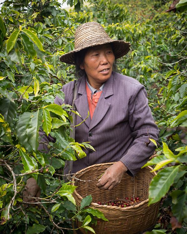 Coffee farmer in the hills of Xishuangbanna