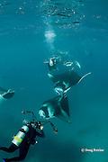 scuba divers photographing train of chain-feeding manta rays, Manta alfredi (formerly Manta birostris ), feeding on plankton, Hanifaru Bay, Baa Atoll, Maldives ( Indian Ocean )