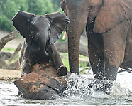 BABY ELEPHANTS PLAYING IN THE CHOBE RIVER