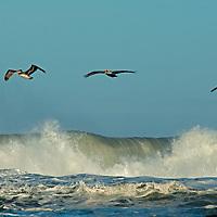 Brown Pelicans (Pelicanus occidentalis) soar above Pacific Ocean surf near Pescadero, California.