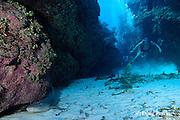 divers spot a resting nurse shark, Ginglymostoma cirratum, at Mata dive site, Ambergris Caye, Belize, Central America ( Caribbean Sea )