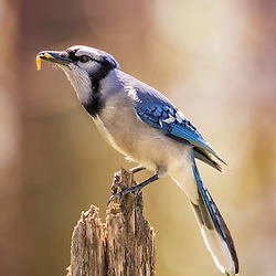 A Blue Jay Grabs A Morning Bite, And Stops On A Perch For A Quick Photograph