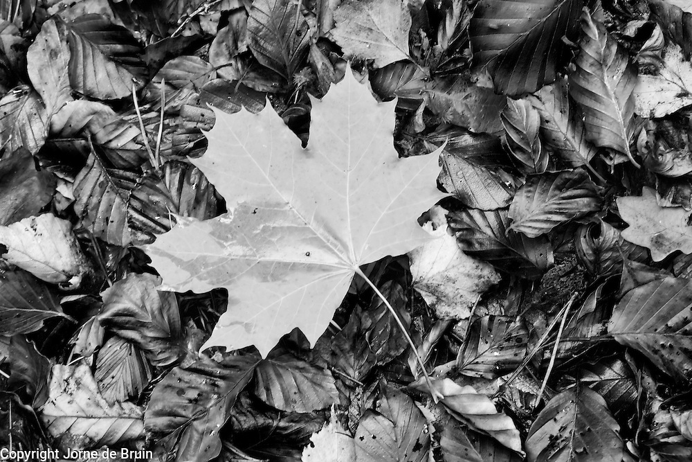 A fallen leaf lies on the forest floor in the Cairngorms National Park, Scotland