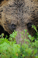 Eurasian Brown Bear, Ursus arctos.Suomussalmi, Finland.Brown bear (Ursus arctos), FINLAND/MARTINSELKONEN, SUOMUSSALMI, KAINUU. Ten years ago, most Europeans who wanted to see bears, went to Alaska. Now they can instead go to Finland, Sweden or Romania, who all have large and growing bear populations, and ecotourism operators who will take you to see the bears from permanent hides. Bears were once found throughout the continent and even inhabited the British Isles until the 10th century. This is the same species as the North American Grizzly, and has made a remarkable comeback throughout much of Europe. Today, the European parts of Russia has by far the largest bear population (c 36,000), followed in order by Romania (6-7,000), Sweden (2,500) the Balkans (2,500-3,000) and Finland (1,000).