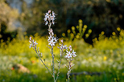 Asphodelus ramosus, also known as branched asphodel, is a perennial herb in the Asparagales order. Photographed in Israel in March