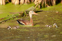 Black bellied Whistling Duck with ducklings Green Cay Nature Centre Delray Beach Florida USA