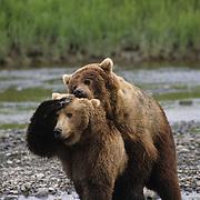 Alaskan Brown Bear adult male mounts and mates with a female. Alaskan Peninsula, Alaska