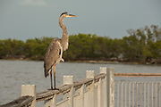 A great blue heron (Ardea herodias) on the walkway in Biscayne National Park, Florida.