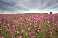 Sticky catchfly  (Lychnis viscaria) en masse in flower meadow. Lithuania. Mission: Lithuania, June 2009.