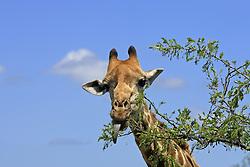 June 23, 2015 - Cape Giraffe, Kruger national park, South Africa  (Credit Image: © Tuns/DPA/ZUMA Wire)
