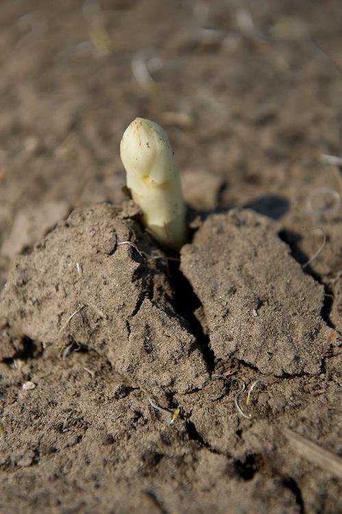 Nederland, Overloon, 15 april 2010.Het aspergeseizoen is weer open. De eerste asperges komen van het land. Nog maar mondjesmaat, want het weer is vrij koud. .Een asperge steekt zijn kop boven de rug van aarde uit. Even later is hij afgestoken door een pool...Foto (c)  Michiel Wijnbergh