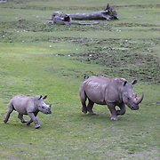 A Southern White Rhinoceros calf and it's mother head for feeding time at Orana Wildlife Park, Christchurch. New Zealand..The pair are part of the Park's White Rhino herd which is part of an international White Rhino breeding program.  Orana Wildlife Park is set on 80 hectares and is New Zealand's only open range zoo. .Over 400 animals from 70 different species are displayed. Mcleans Island Road, Christchurch, New Zealand. 9th June 2011. Photo Tim Clayton.