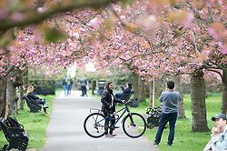 © Licensed to London News Pictures. 12/04/2019.<br /> Greenwich, UK. A cloudy day has been brightened up by the pink cherry blossom at Greenwich Park, London. Photo credit: Grant Falvey/LNP