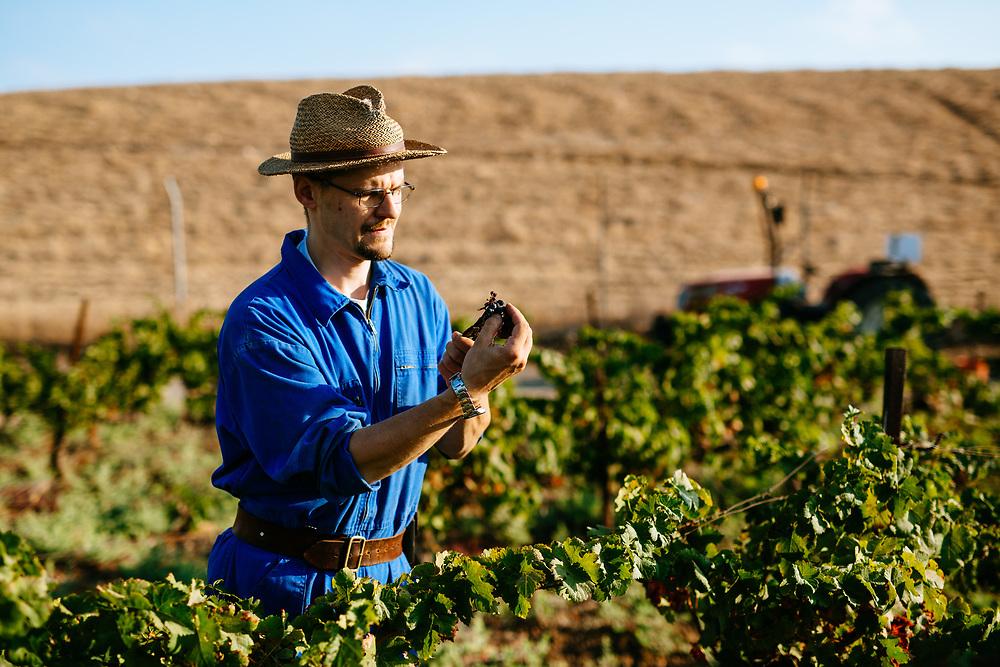 Zdenek Moravitz (a former trappist monk) harvests grapes at a vineyard near the Latrun Monastery, west of Jerusalem, Israel, on August 16, 2018.