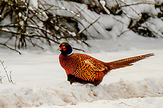 Pheasants in the snow | South Lanarkshire | 1 March 2018