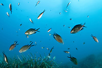 Shoal of Mediterranean damselfish (Chromis chromis), Larvotto Marine Reserve, Monaco, Mediterranean Sea<br /> Mission: Larvotto marine Reserve