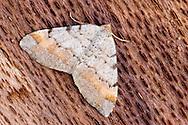 Tawny-barred Angle - Macaria liturata