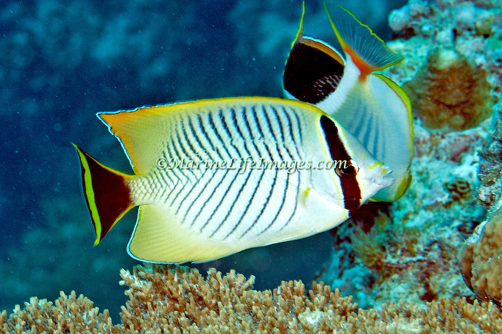 Chevroned Butterflyfish inhabit reefs. Picture taken Palau.