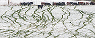 Cattle tracks in freshly fallen snow in a pasture in Klickitat County, WA.