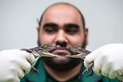 Zoo Keeper Iri Gill - counts 6 Phillippine crocodiles.  The ZSL London Zoo Annual Stocktake 2015. Responsible for the care of more than 750 different species, keepers face the formidable task of noting every mammal, bird, reptile, fish and invertebrate at the Zoo.