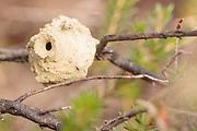 Heath potter wasp (Eumenes coarctatus) completed (unsealed) nest pot. Surrey, UK.