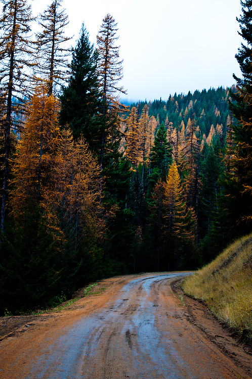 Fall color in the Western Larches (Larix occidentalis) in the Okanogan Mountains of North Central Washington.
