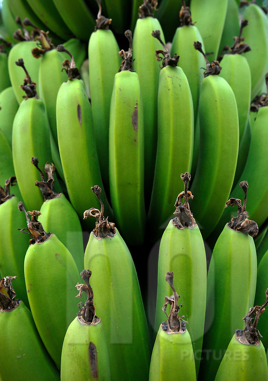 Bunch of green bananas. Vietnam, Asia