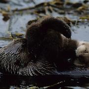 Sea Otter mother grooming her baby in a kelp bed. Adak Island, Aleutian Islands, Alaska