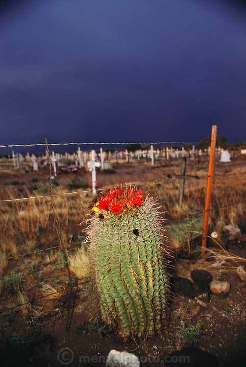 Flowering cactus near San Javier del Bac Mission graveyard just before an afternoon thunderstorm. Tucson, Arizona, USA.