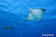 spotted eagle rays, Aetobatus narinari, Ice Cream bommie, Saipan, Commonwealth of Northern Mariana Islands, Micronesia ( Western Pacific Ocean )