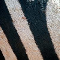 Africa, Tanzania, Ngorongoro Crater.  Zebra stripes, close up.