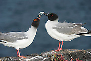 Swallow-tailed Gull Pair (Larus furcatus)<br /> South Plaza<br /> Galapagos<br /> Ecuador<br /> South America<br /> Endemic