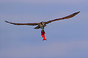 An osprey (Pandion haliaetus) flies with a red kokanee salmon (Oncorhynchus nerka) that it caught in Hayden Lake, Idaho. Kokanee are genetically similar to sockeye salmon. The main difference is that kokanee spend their entire lives in freshwater, unlike salmon with spend most of their lives in the ocean and return to freshwater to spawn.