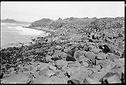"9707-K206. written on original negative: ""Half bulls on Gorbatch"" St. Pauls Island. Pribilof Group. July 11, 1919"