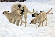Kangal-Hündin mit ihren Welpen im Schnee spielend.