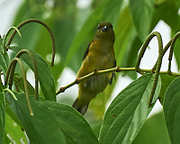 Palm Tanager (Thraupis palmarum). Arenal Volcano Lodge. Image taken with a Nikon D3s camera and 70-300 mm VR lens
