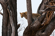 A leopard (Panthera pardus)standing in the fork of a large tree.