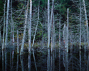 Flooded snags in a beaver pond, North Branch of the Saranac River, Adirondack Park, New York.