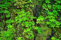 Coltsfoot (Petasites frigidus) and mosses Mount Rainier National Park, WA, USA