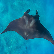 Oceanic manta ray (Mobula birostris) at a cleaning station, Santiago Island, Galapagos, Ecuador.