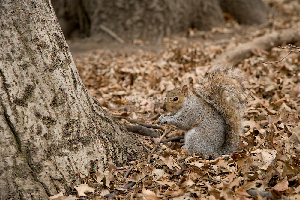 a squirrel sitting eating on top of late fall leaves