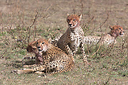 Cheetahs in East African habitat