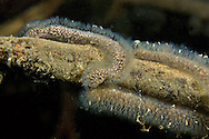 Bryozoa<br /> <br /> Viktor Vrbovsky/Engbretson Underwater Photography