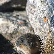 Brown lemming (Lemmus trimucronatus), Nunavut, Canada.