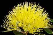 The beautiful blossom of the uncommon Yellow Ohia Lehua (Metrosideros polymorpha) is a local favorite.  Occurring in red, orange, and yellow, the endemic ohia is one of the main sources of food for the native Hawaiian honeycreepers.