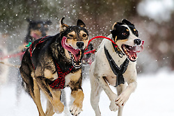 Lead dogs giving all their heart on a dog sled run in the Bridger Teton National Forest of Wyoming.  Love the courtesy of these dogs taking the care to now have their tongues and slobber from flying all over the other.