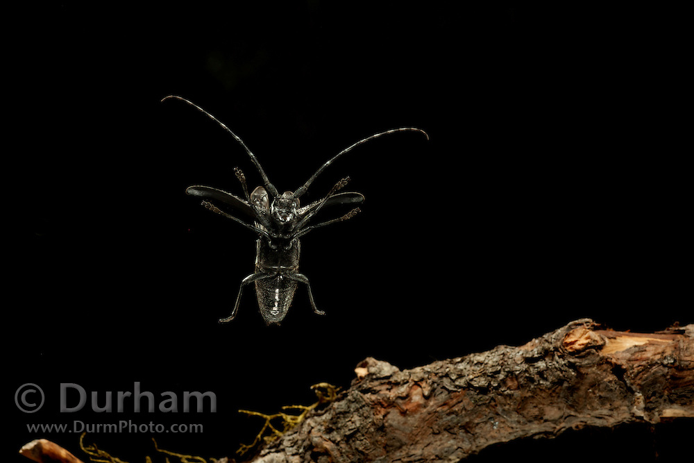 A large Pine Sawyer Beetle (Ergates spiculatus) flying at night in the Mount Hood National Forest, Oregon.