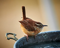 Carolina Wren. Image taken with a Nikon D850 camera and 500 mm f/4 VR telephoto lens (ISO 640, 500 mm, f/4, 1/500 sec).